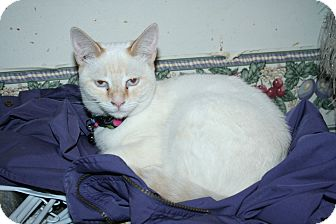 Siamese Cat for adoption in Santa Rosa, California - Desdemona