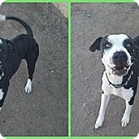 Adopt A Pet :: Atlas - Scottsdale, AZ