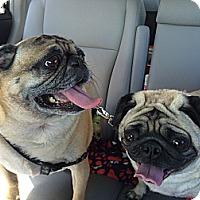 Adopt A Pet :: Joey - Huntingdon Valley, PA