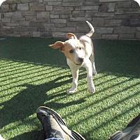 Adopt A Pet :: Brittany - white settlment, TX