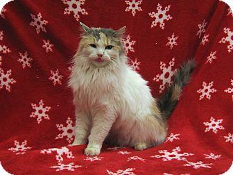 Domestic Longhair Cat for adoption in Redwood Falls, Minnesota - Regena