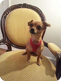 Chihuahua/Pug Mix Dog for adoption in Edgewater, New Jersey - Cricket
