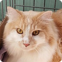 Adopt A Pet :: Fluffy - Raritan, NJ