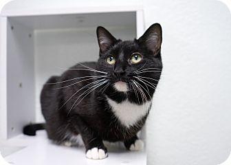 Domestic Shorthair Cat for adoption in Montclair, California - Momma Trisha
