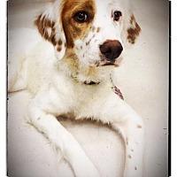 Adopt A Pet :: MAPLE - Pine Grove, PA