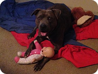 Pit Bull Terrier Mix Dog for adoption in Palm Bay, Florida - Adopt Me
