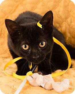 Domestic Shorthair Cat for adoption in Lambertville, New Jersey - Lillian