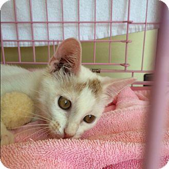 Domestic Shorthair Kitten for adoption in Houston, Texas - Ian