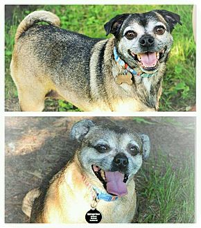 Pug/Chihuahua Mix Dog for adoption in Eastpointe, Michigan - Candy & Sandy a BONDED PAIR!