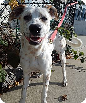 Dalmatian/Boxer Mix Dog for adoption in Gardena, California - Marie