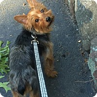 Adopt A Pet :: Lilo - Tenafly, NJ