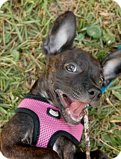 Boston Terrier/Chihuahua Mix Puppy for adoption in Courtland, Alabama - Noble