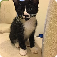 Domestic Shorthair Kitten for adoption in Cincinnati, Ohio - Venus
