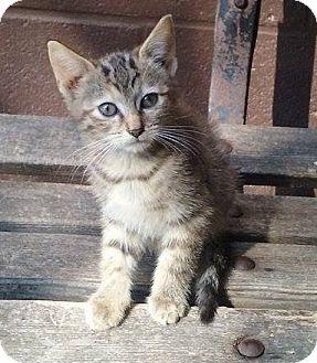 Domestic Shorthair Kitten for adoption in Mt Pleasant, Pennsylvania - Clover