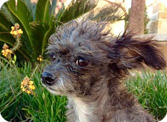 Tea Cup Poodle/Chihuahua Mix Dog for adoption in Pipe Creed, Texas - Cookie
