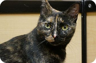 Domestic Shorthair Cat for adoption in Salem, New Hampshire - Isabelle