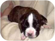 Boxer Puppy for adoption in Sunderland, Massachusetts - Holly