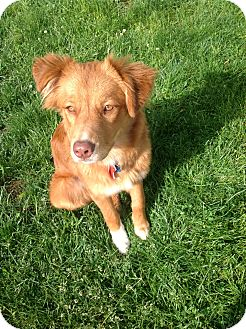 Nova Scotia Duck-Tolling Retriever Mix Dog for adoption in Cheshire, Connecticut - Nadia