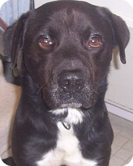 Newfoundland/Labrador Retriever Mix Dog for adoption in Fall River, Massachusetts - Elvis *ADOPTION PENDING*