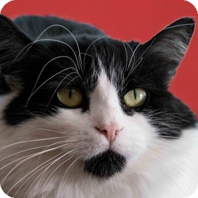 Domestic Longhair Cat for adoption in Calgary, Alberta - Cheekie