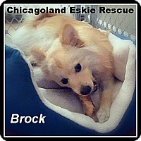 Adopt A Pet :: Brock - Elmhurst, IL