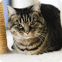 Domestic Shorthair Cat for adoption in Wayne, New Jersey - Petra