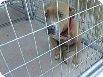 American Pit Bull Terrier Mix Dog for adoption in Valrico, Florida - Sweetie
