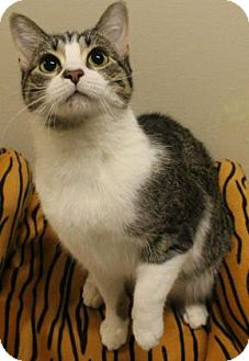 Domestic Shorthair Cat for adoption in Verona, Wisconsin - Zoli