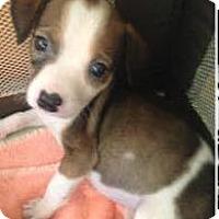 Adopt A Pet :: Samantha - Barnegat, NJ