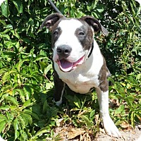 Adopt A Pet :: CUTE Emoji ~ American Bully - Albuquerque, NM