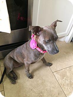 Chihuahua Mix Dog for adoption in Houston, Texas - Nala