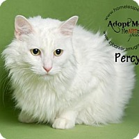 Domestic Longhair Cat for adoption in Houston, Texas - Percy