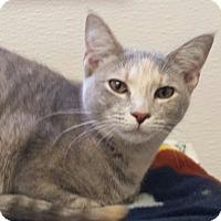 Domestic Shorthair Kitten for adoption in Kalamazoo, Michigan - Cheshire