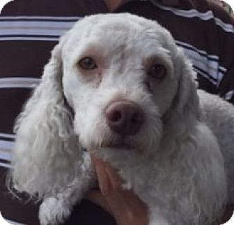 Cockapoo Mix Dog for adoption in Canoga Park, California - Odom