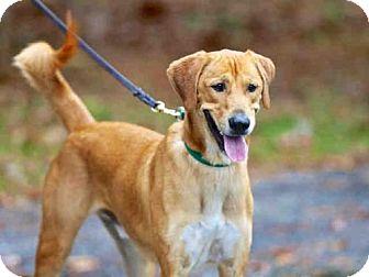 Labrador Retriever Mix Dog for adoption in Wainscott, New York - ZEKE