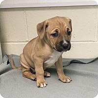 Adopt A Pet :: Tori - Burgaw, NC