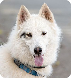 Siberian Husky Dog for adoption in Cedar Crest, New Mexico - Meeska