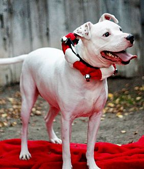 American Staffordshire Terrier Mix Dog for adoption in Sacramento, California - Blanco