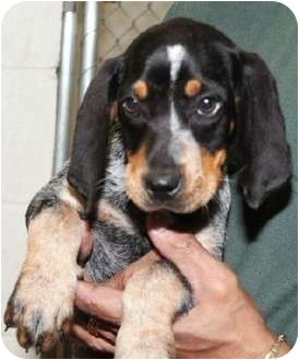 Bluetick Coonhound Mix Puppy for adoption in Dallas, Texas - Blueberry