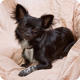 Chihuahua Dog for adoption in Anna, Illinois - EDDIE TRAVIS