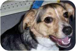 Beagle Puppy for adoption in Pittsburgh, Pennsylvania - Truman