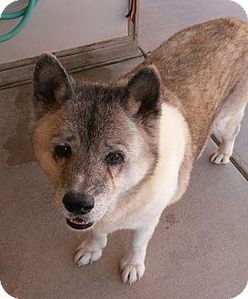 Akita Dog for adoption in Hayward, California - Jessie