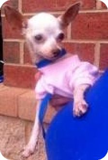 Chihuahua Dog for adoption in Summerville, South Carolina - Cricket