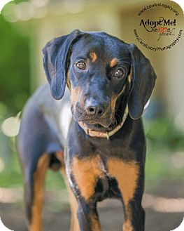 Black and Tan Coonhound Mix Dog for adoption in Cincinnati ...