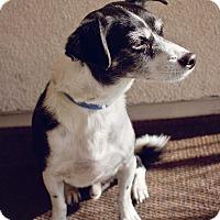 Adopt A Pet :: Tomo - Las Vegas, NV
