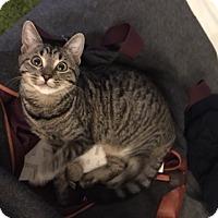 Domestic Shorthair Cat for adoption in Los Angeles, California - Hadyn