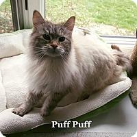 Adopt A Pet :: Puff Puff - Bentonville, AR