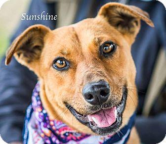 Labrador Retriever Mix Dog for adoption in West Hartford, Connecticut - Sunshine