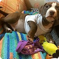 Adopt A Pet :: Pittsburgh Steelers - Phoenix, AZ