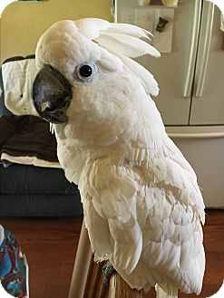Cockatoo for adoption in Weatherford, Texas - *Angel*